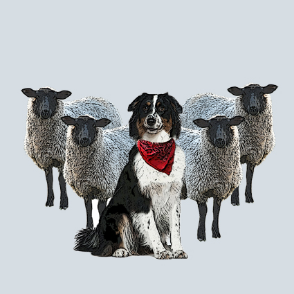 Collie Sheepdog and Sheep Greeting Card